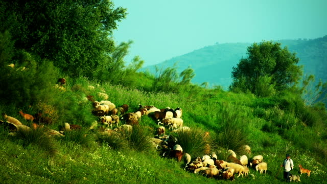 Flock of sheep and goats