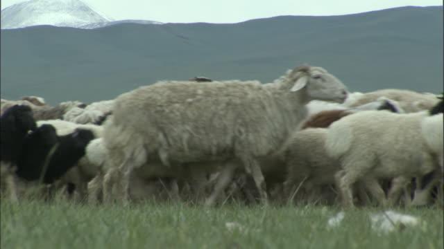 Flock of sheep and goats walk past camera, Bayanbulak grasslands,