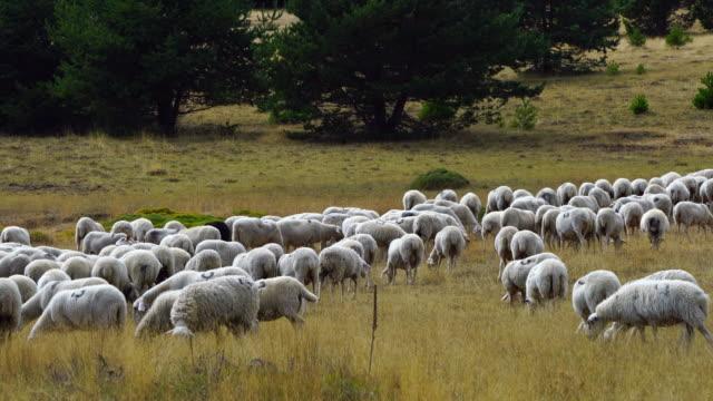 Flock of sheep and shepherd