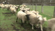 A flock of sheep entering the ranch