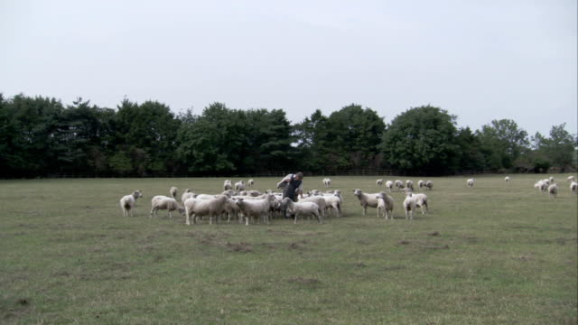 A flock of sheep grazes near a row of leafy trees in a grassy field. Available in HD.