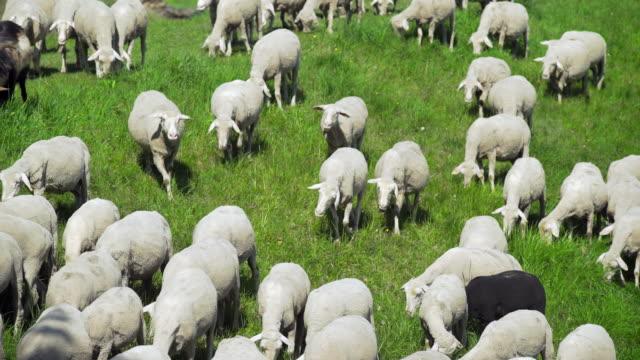 Flock Of Sheep Grazing In Spring Meadow (4K/UHD)