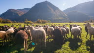 Flock of sheep grazing on a pasture