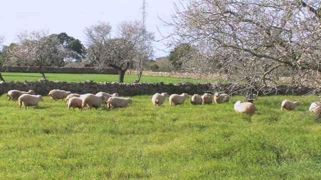 WS Flock of sheep grazing on grassy field  / Mallorca, Balearic Islands, Spain