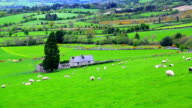 Flock of sheep grazing on rolling hills in Ireland