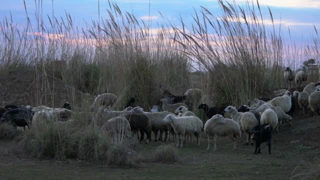 Kudde schapen grazen