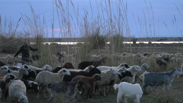 Kudde schapen grazen met herder