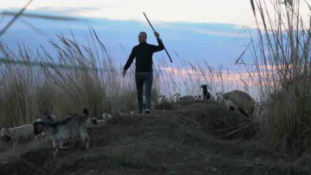 Flock of sheep grazing with shepherd