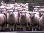 MS, Flock of sheep in corral, New Zealand