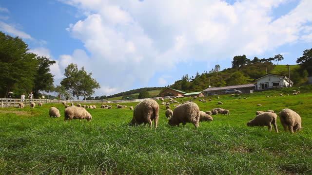 WS Flock of sheep in Daegwallyeong Yangtte Pasture (Sheep Farm) / Pyeongchang, Gangwon do, South Korea