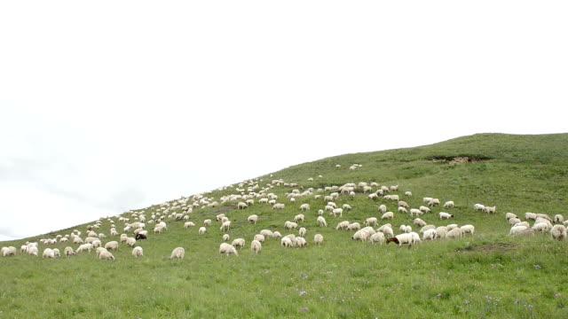 flock of sheep on meadow