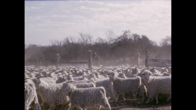 WS PAN Flock of sheep running and walking on landscape / United States