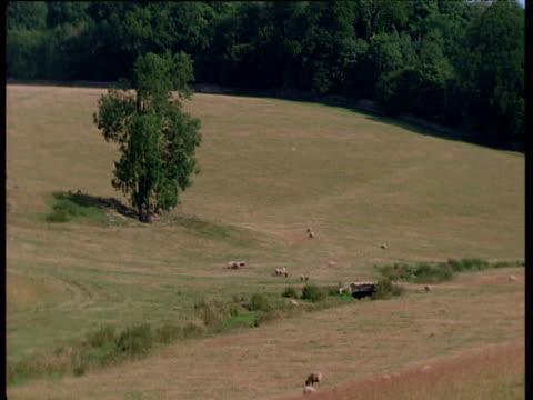 Flock of sheep speed around in field, UK