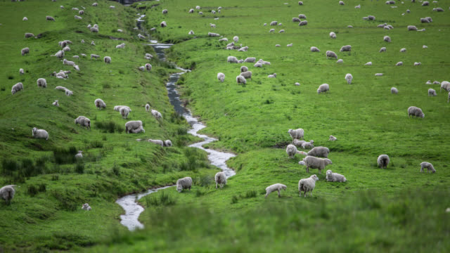 TIME LAPSE: Flock of Sheep