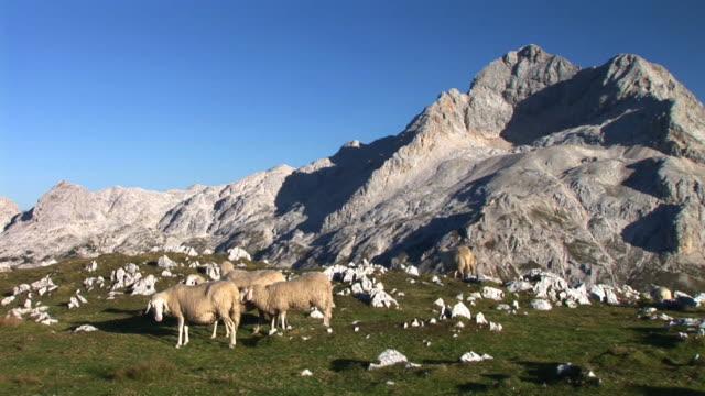 HD: Flock of sheep