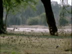 MS flock of small birds taking flight from ground, hesitating then flying off, Mana Pools, Zimbabwe