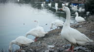 Flock of white geese at pond.