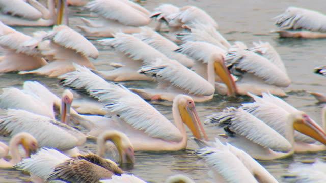 MS Flock of White Pelicans feeding in fishpond / Ma'ayan Zvi, Carmel Coast, Israel