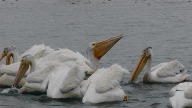 Flock of White Pelicans swimming and feeding, Moss Landing, California
