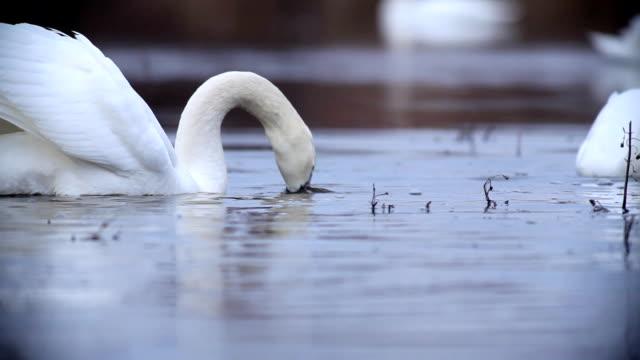 Flock of weiße Schwäne privatem im Teich zu.