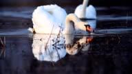 Flock of white swans.