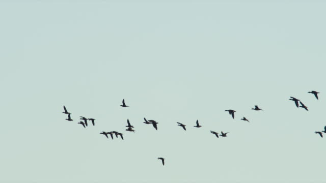 Flock of Wood Ducks fly across blue sky.