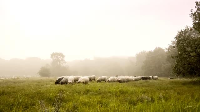 Kudde met vele schapen in Nederland, een vroege mistige dag