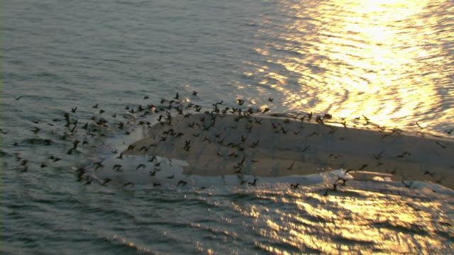 Flocks of pelicans take flight from a small sandbar off the Mississippi coast.