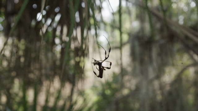 USA, Florida, Oscar Scherer St Park, Spider on its web