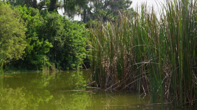 USA, Florida, Venice, Reed bed