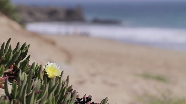C/U flower, beach in background