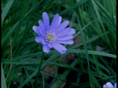 T/L flower - CU Blue anemone closing, natural background