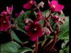 T/L flower - CU buds opening to purple African violets, leaves and black background