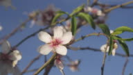 CU ZI Flower of sweet almond tree / Malaga, Andalusia, Spain