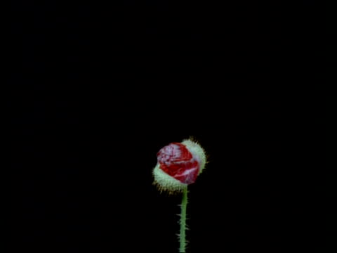 T/L flower - CU Red bud opening to dusky pink poppy, high angle, Black background