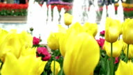Blume Tulpe