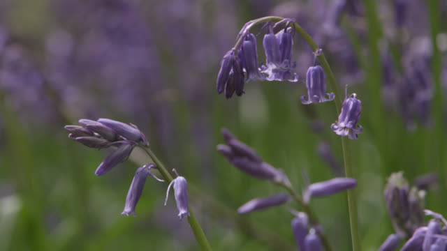 Flowering bluebells (Hyacinthoides non-scripta) in Spring woodland, Wiltshire, England
