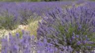 Flowering lavender in field