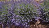 DS Flowering lavender in field