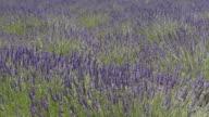 Flowering lavender is moving in wind