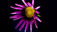 Flowering lilac gazania on a black background