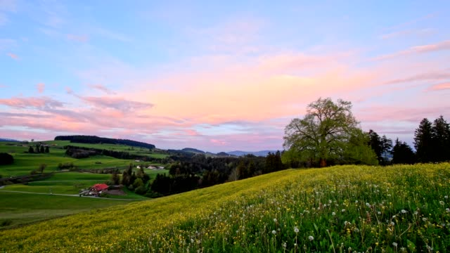 Flowering meadow with lime tree at sunrise in spring, Allgau, Bavaria, Germany