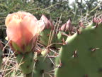 CU, Flowering Prickly Pear Cactus, Canyon del Muerto, Canyon de Chelly National Monument, Arizona, USA