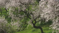 WS ZO Flowering sweet almond tree / Malaga, Andalusia, Spain