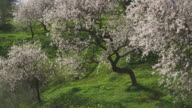 WS Flowering sweet almond tree on ridge overlooking the Axarquia valley east of Malaga / Malaga, Andalusia, Spain
