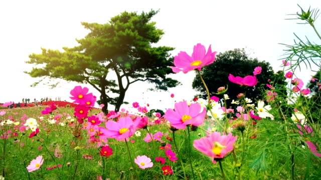 Flowers and Kochias hill at At Hitachi Seaside Park Japan