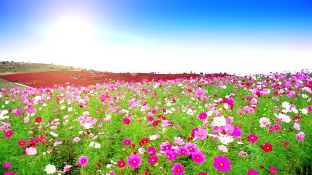 Flowers and Kochias hill at At Hitachi Seaside Park Japan