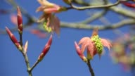 Flowers and leaves unfurling from bud on an ornamental tree in a Leicestershire garden.