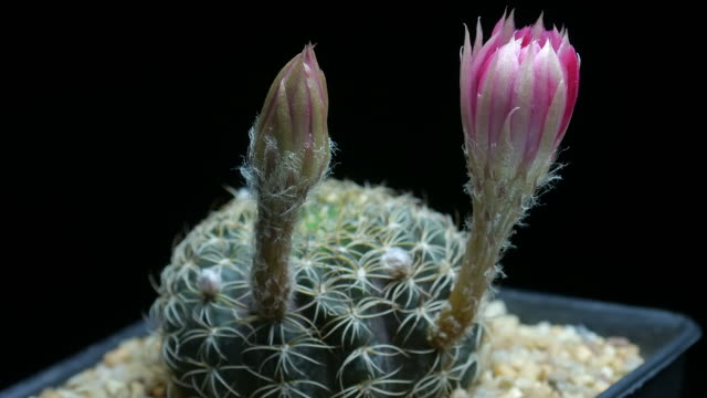 Flowers blooming cactus  timelapse isolate.