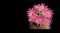Flowers blooming cactus timelapse isolieren.
